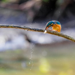 20161008-King Fisher