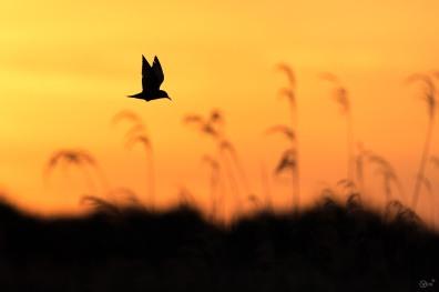Witwangstern in ochtend zon