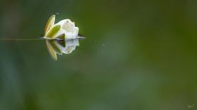 Waterlelie