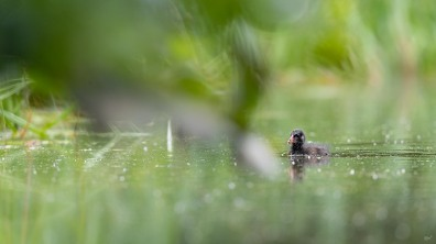 Waterhoen jong