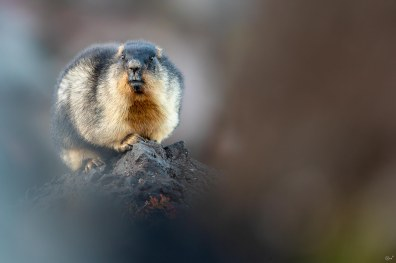 Black Capped Marmot