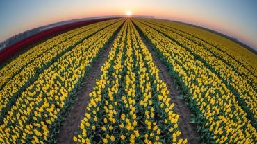 zonsopgang tulpenveld