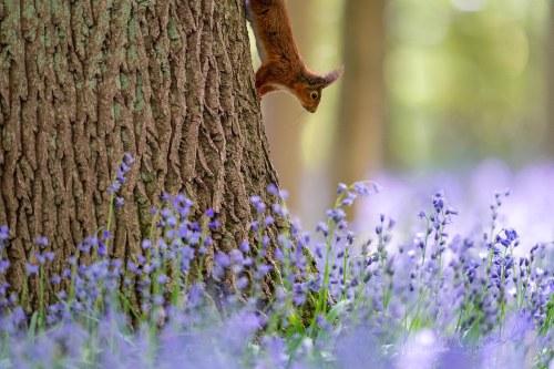 Eekhoorn en hyacinten